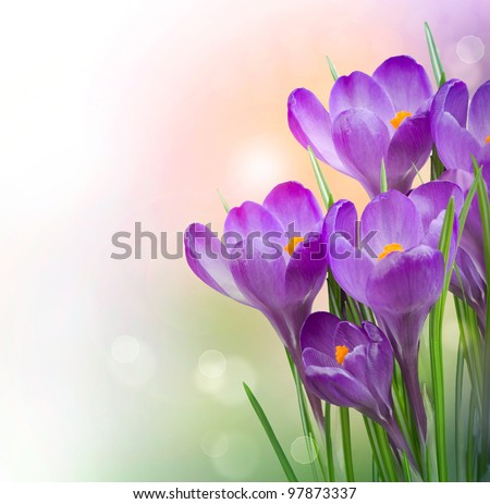 Crocus Spring Flowers - stock photo