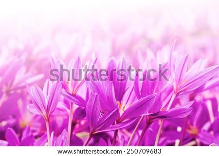 Crocus spring flowers blooming in the wild meadow  - stock photo