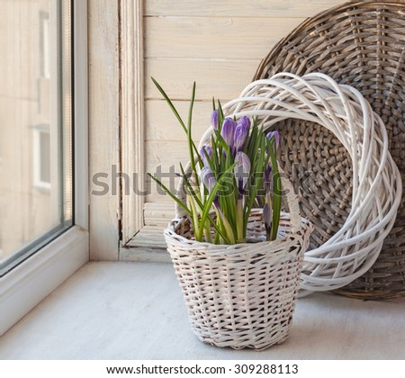 Crocuses blooming in white basket on the window - stock photo