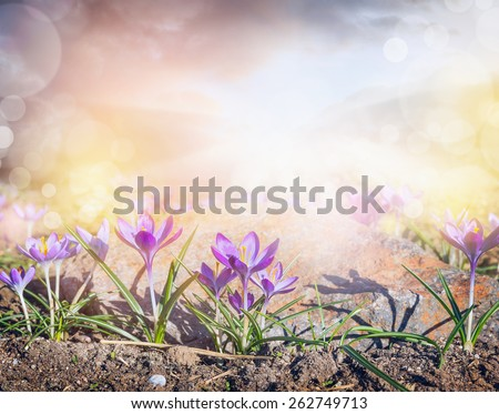 Crocuses glade with  sunlight and bokeh, sprigtime nature background - stock photo