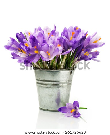 Crocuses in a bucket isolated on white - stock photo