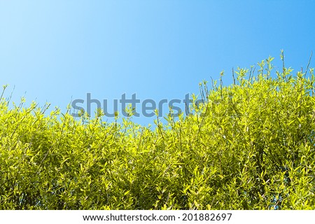 crone of a willow tree against blue sky - stock photo