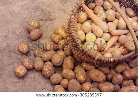 Crop of young potatoes. Fresh young potatoes in a wattled basket - stock photo