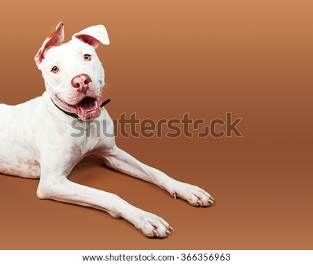 Cropped view of a friendly and happy white color large breed dog laying down with room for text - stock photo