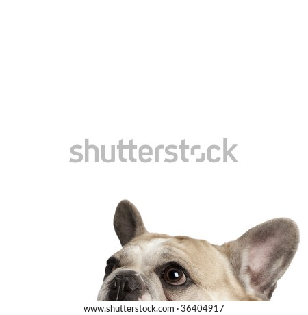 Cropped view of French bulldog in front of white background, studio shot - stock photo