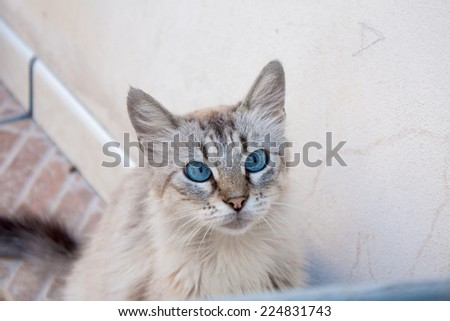 Cross Blue Eyed Cat - stock photo