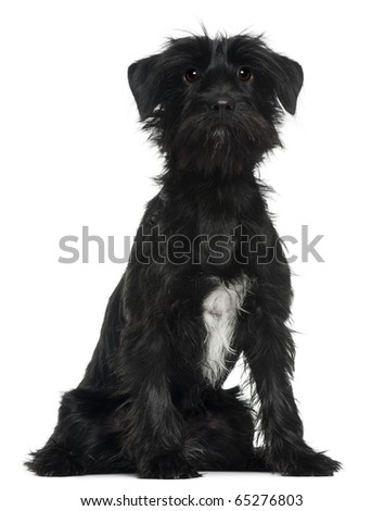 Cross Breed dog, 1 year old, sitting in front of white background - stock photo