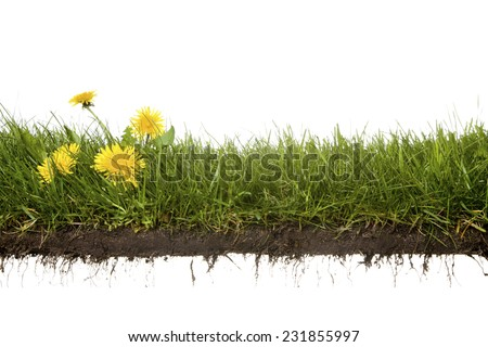 cross-cut of grass with dandelion isolated on white background - stock photo