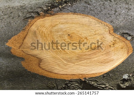 Cross section branch trunk beech as a wooden background - stock photo