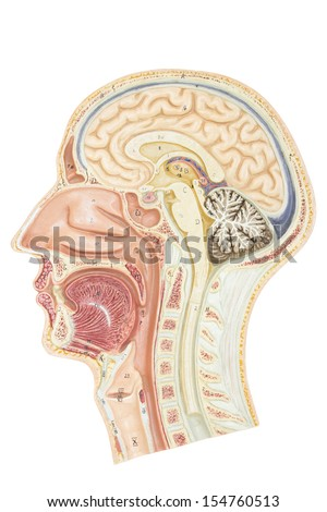 Cross section of human head - stock photo