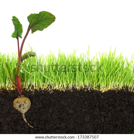 Cross-section of soil and grass with beetroot isolated - stock photo
