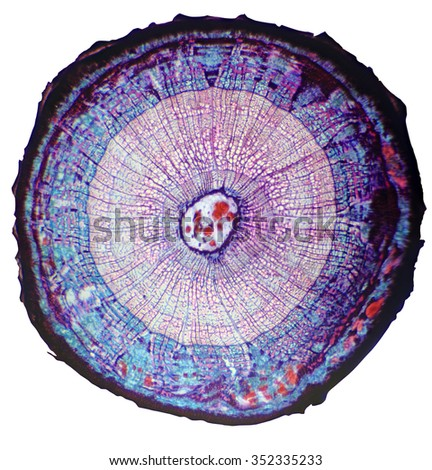 Cross-section of the stem woody plant under the microscope (Basswood Stem C.S.) - stock photo