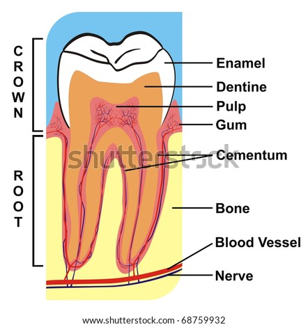 Cross-Section of Tooth (Crown & Root) --- including the parts (enamel, dentine, pulp, gum, cementum, bone, blood vessel, nerve) --- for Education Purpose & Clinics - stock photo