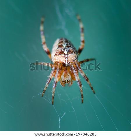 Cross spider - stock photo