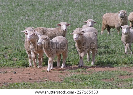 crossbred ewes with lambs in a pasture paddock - stock photo
