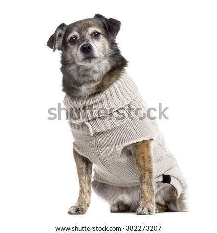 Crossbreed dog dressed and looking at the camera, isolated on white (10 years old) - stock photo