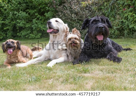 Crossbreed dog, Giant Black Schnauzer, Yorkshire Terrier and Golden Retriever dogs are lying on the lawn. Dogs are facing the camera and all have a protruding tongue. - stock photo