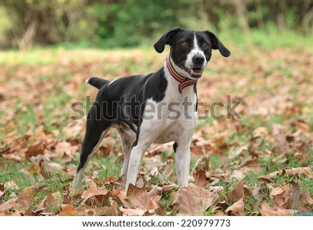 Crossbreed dog poses outdoors in an autumn scenery  - stock photo