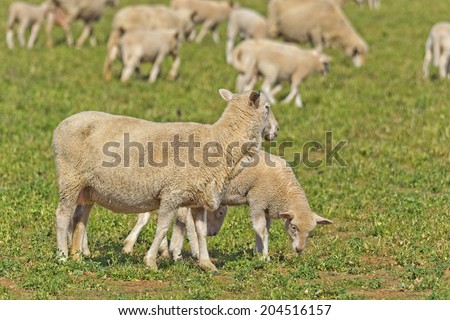 crossbreed ewe and lambs closeup in lucerne pasture - stock photo