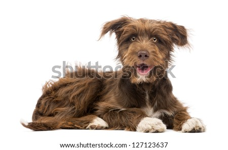 Crossbreed, 5 months old, lying and looking at camera against white background - stock photo