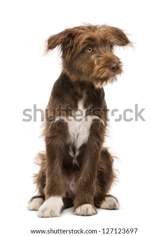 Crossbreed, 5 months old, sitting and looking right against white background - stock photo