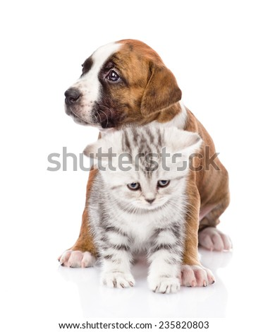 Crossbreed puppy and scottish kitten together. isolated on white background - stock photo