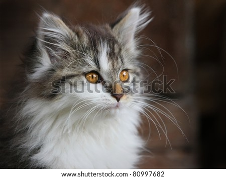 Crossbreed Siberian cat et persian catin - stock photo