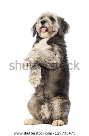 Crossbreed, 4 years old, standing on hind legs, panting and looking up in front of white background - stock photo