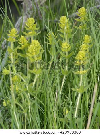 Crosswort - Cruciata laevipesCalcareous Grassland Wild Flower - stock photo