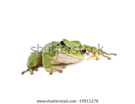 Crouching green Tree Frog isolated on white background. Shallow DOF. - stock photo