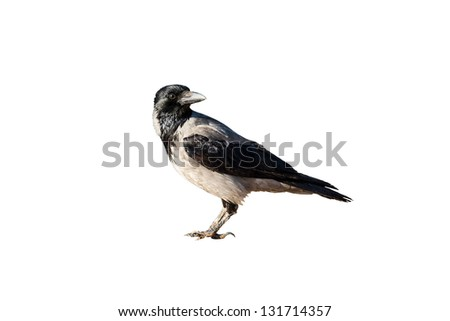 crow isolated on white - stock photo
