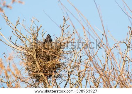 crow's nest in a tree. black Crow - stock photo
