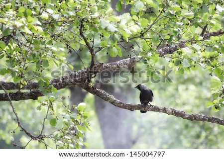 crow waiting - stock photo
