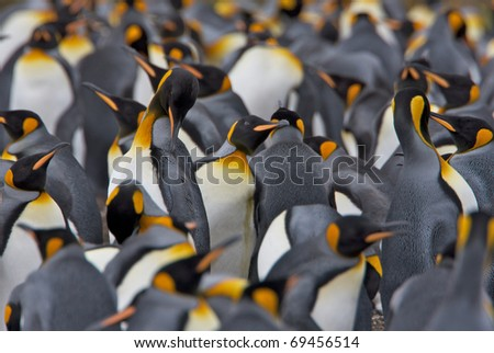 Crowded colony of King Penguins. One penguin is preening itself in the middle. - stock photo