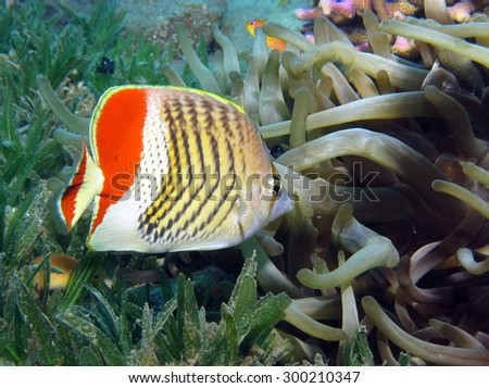 Crown butterflyfish with cleaner shrimp at cleaning station - stock photo