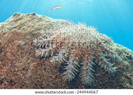 crown of thorns sea stars in a reef underwater landscape  - stock photo