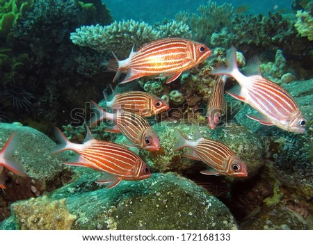 Crown squirrelfish swim together over rocks and coral - stock photo