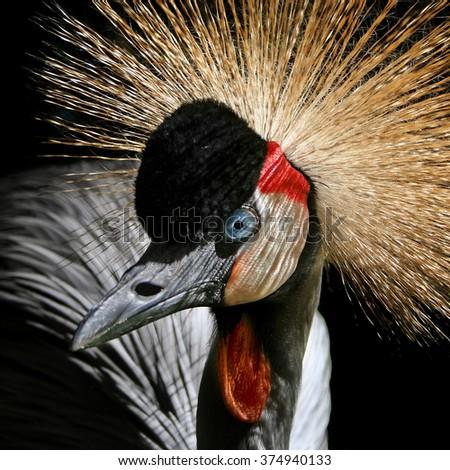Crowned crane - stock photo