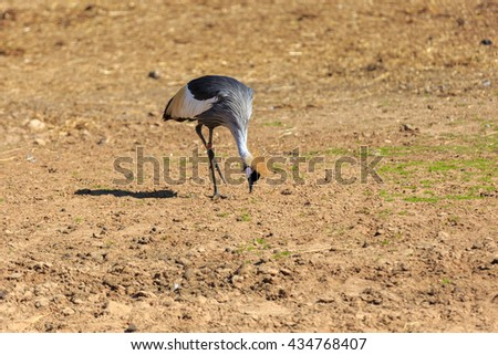 Crowned crane who is eat from the ground - stock photo