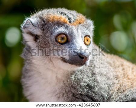 crowned lemur  - stock photo
