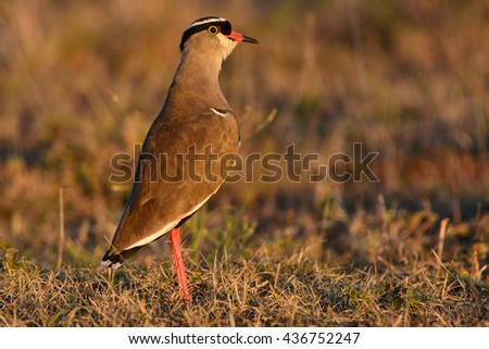 Crowned  Plover - stock photo
