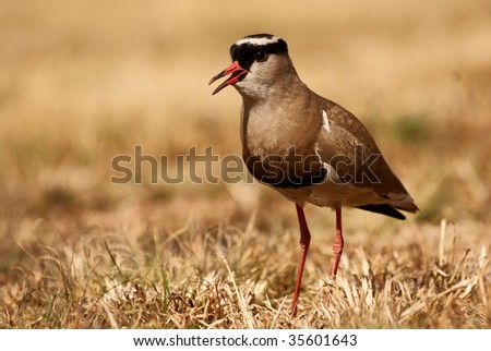 Crowned Plover walking. - stock photo