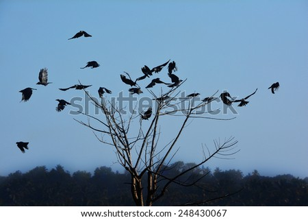 Crows (Corvus splendens) flying off from a dead tree. - stock photo