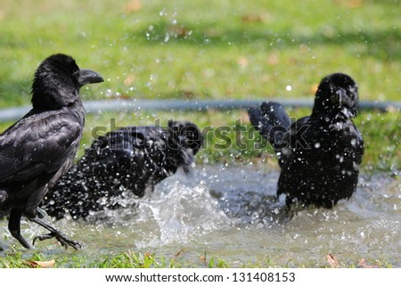 crows on water - stock photo