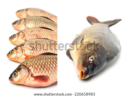 Crucian carp fishes isolated on white background. collage - stock photo