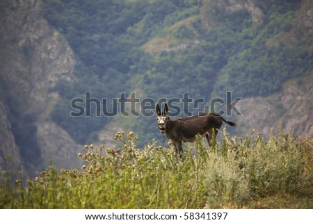 crying donkey in mountains - stock photo