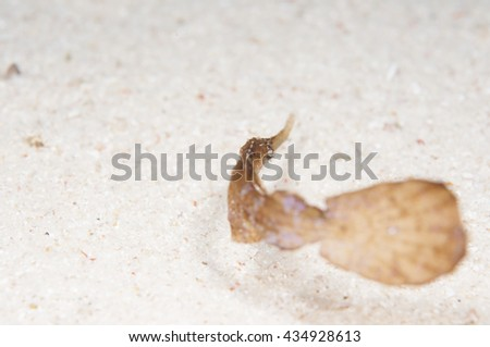 Cryptic robust ghost pipefish camouflaged as a dead seagrass leaf - stock photo