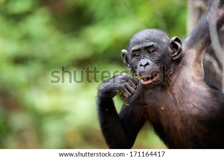 Cub of a Chimpanzee bonobo ( Pan paniscus). Democratic Republic of Congo. Africa  - stock photo