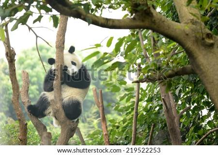 Cub of Giant panda bear sleeping on tree Chengdu, China  - stock photo