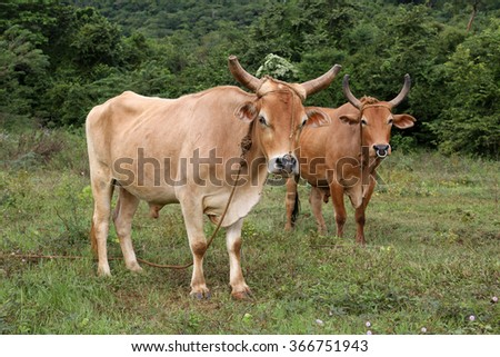 Cuba, cow in Vinales - stock photo